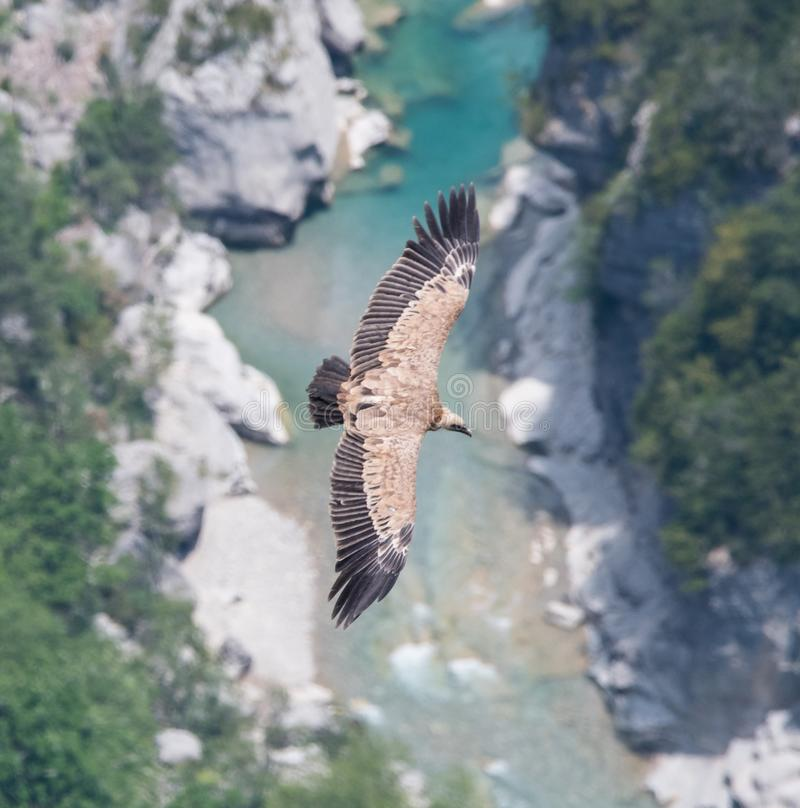 Ein Greif fliegt auf den Fluss in den Schluchten du Verdon lizenzfreie stockbilder