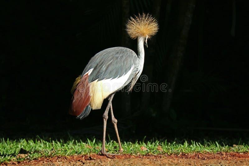 Ein Grey Crowned Crane Bird Relaxing im Sonnenlicht, Foz tun Iguacu, Brasilien, Südamerika stockfotografie