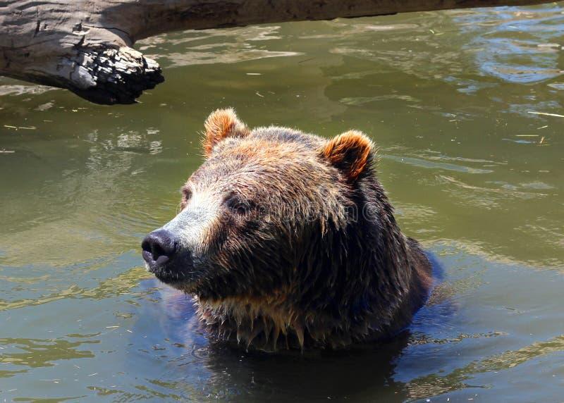 Ein Grizzlybär nimmt ein Schwimmen lizenzfreie stockbilder