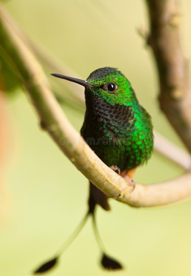 Ein großartiger aufgeladener Schläger-Heck Kolibri stockfotografie