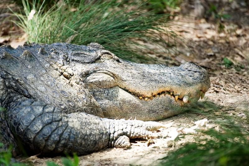 Ein großer Alligator, der auf einer Bank stillsteht stockbild