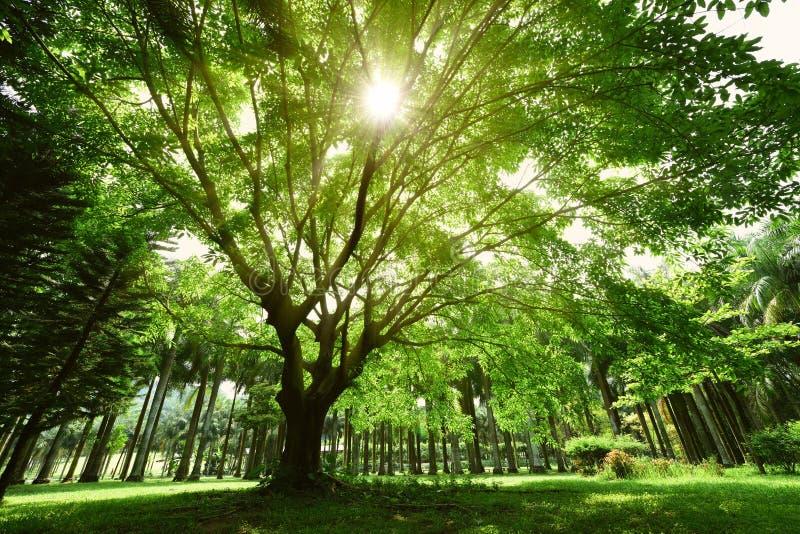 Ein großer Banyanbaum stockbilder