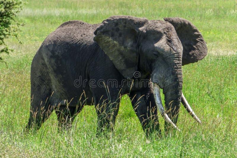 Ein großer einsamer Elefant im Gras auf der Savanne in Serengeti stockfotos