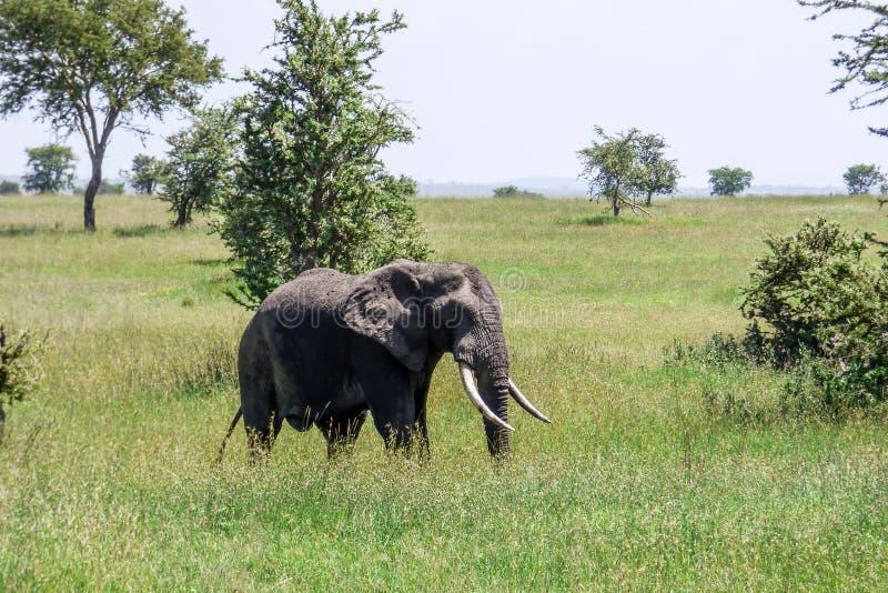 Ein großer einsamer Elefant im Gras auf der Savanne in Serengeti stockfoto