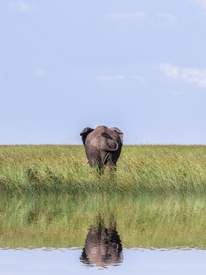 Ein großer einsamer Elefant zeigt den Kolben/das Endstück auf der Savanne an einer Wasserstelle lizenzfreie stockfotografie