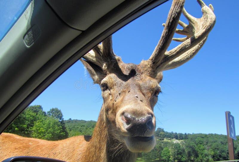 Ein großer Elch steht nah und persönlich im Beifahrerseitegewinn auf stockfotografie