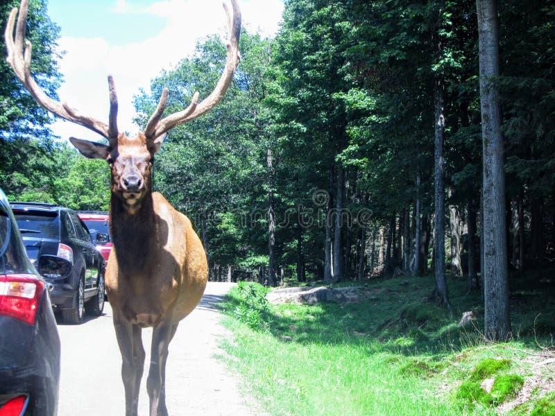 Ein großer Elch steht nahes und persönliches auf, während es entlang das Beifahrerseitefenster einiger Autos geht lizenzfreie stockfotografie