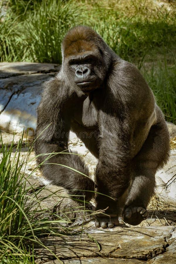 Ein großer Gorilla, der auf seine Knöchel geht lizenzfreie stockbilder