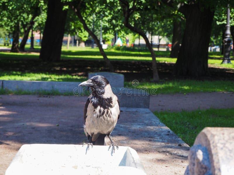Ein großer grauer Krähe Corvus sitzt auf einem Straßenabfalleimer auf der Suche nach Nahrung lizenzfreies stockbild