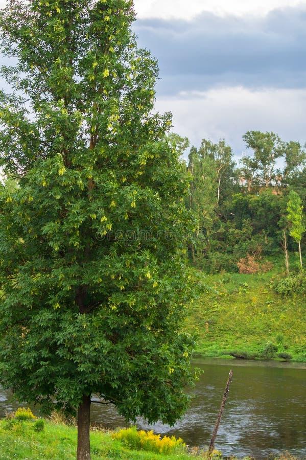 Ein großer Laubbaum, der mit einer hohen, schmalen Krone wächst Fraxinushobelspäne, alias die Asche oder europäische Asche- oder  stockbilder