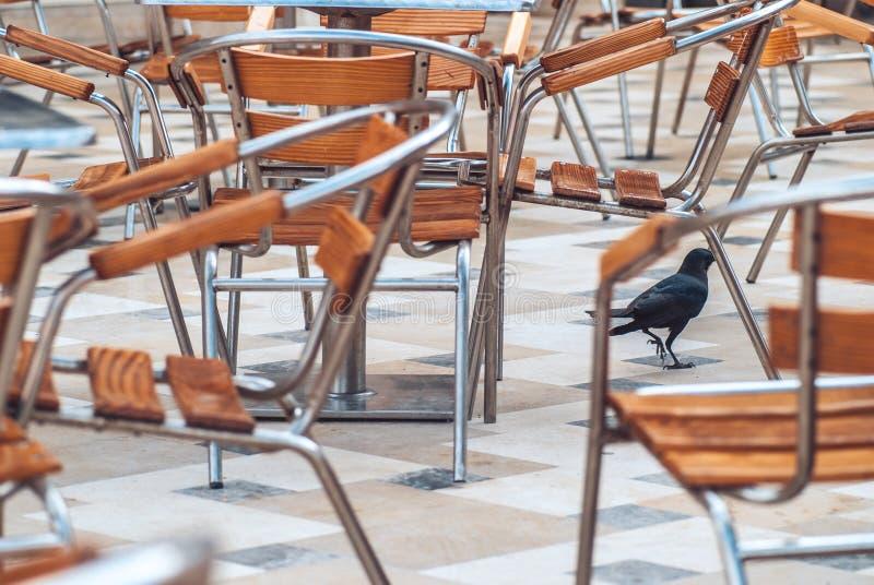 Ein großer schwarzer Rabe, der auf einen Hintergrund von hölzernem mit den Metallstühlen gelegt in einen Cafébereich des offenen  stockbilder