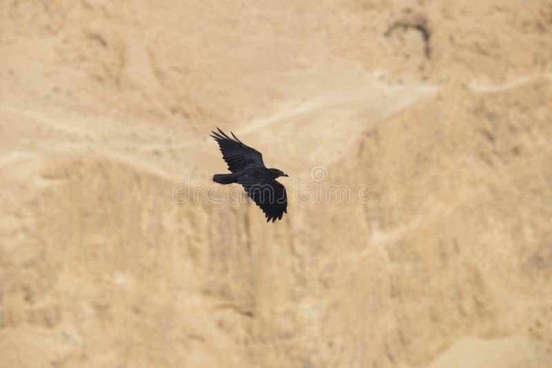 Ein großer schwarzer Rabe fliegt auf einen unscharfen Hintergrund des Judean lizenzfreie stockfotos