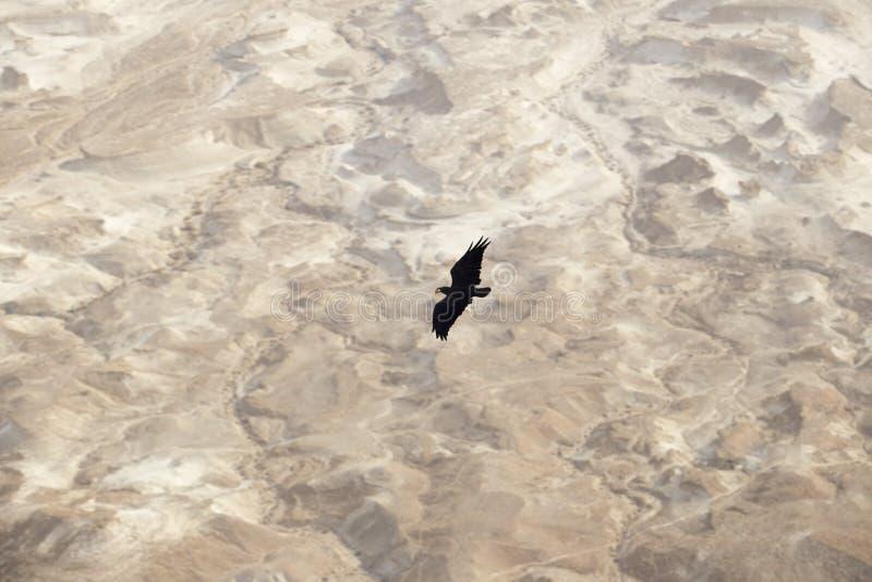 Ein großer schwarzer Rabe verbreitete seine Flügel und über der Judean-Wüste lizenzfreie stockbilder