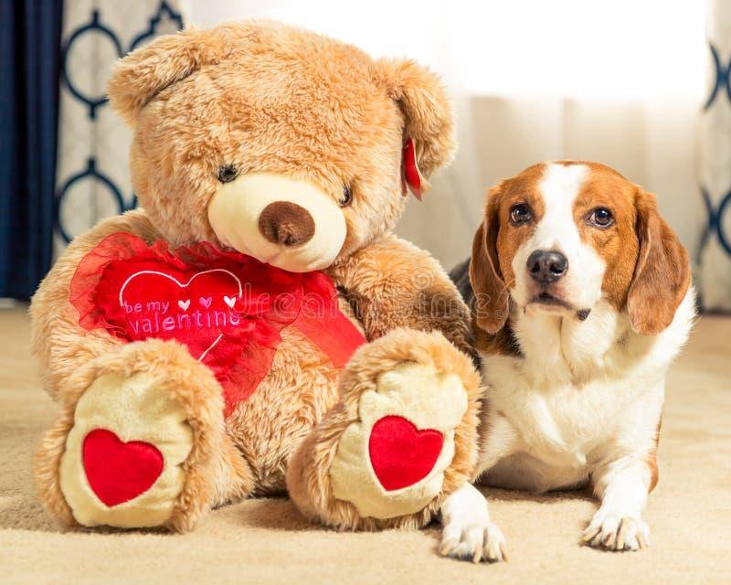 Ein großer Teddybär sitzt neben seinem besten Freund, ein Beagle-Mischhund - Weitwinkel stockfotografie