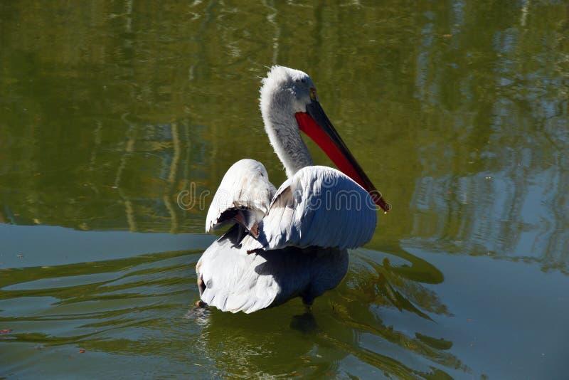 Ein großer weißer Pelikan kommt den See stockfoto