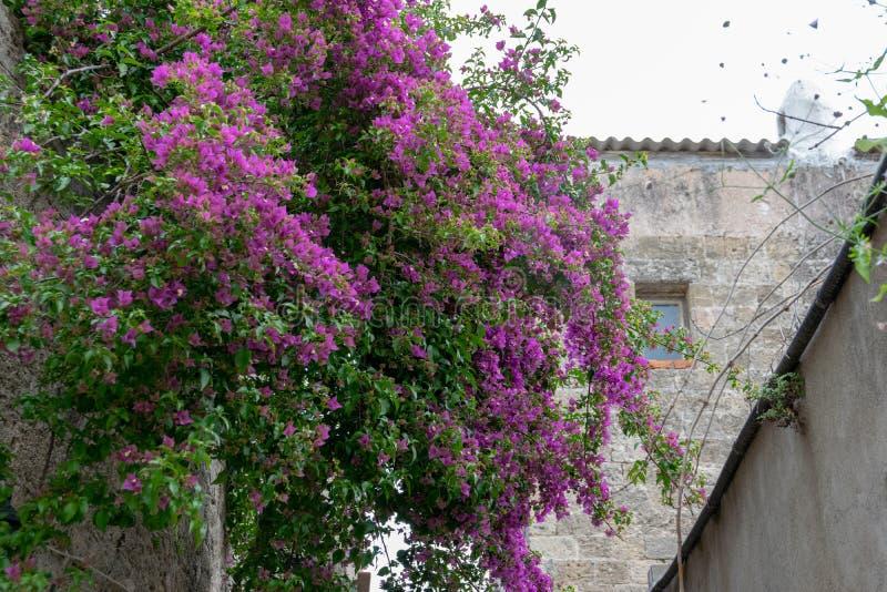 Ein großes blühendes Buschbouganvilla glabra auf einer kleinen Straße lizenzfreies stockfoto