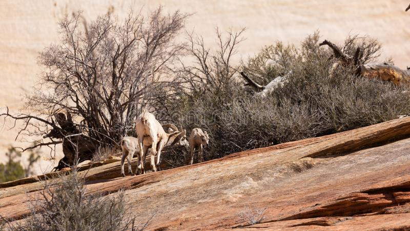 Ein großes gehörntes Schafmutterschaf der Wüste und ihre zwei Lämmer ziehen auf einen Busch ein, der von den Sprüngen im slickroc lizenzfreie stockfotos