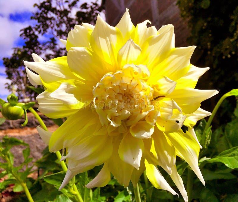 Ein großes gelbes Dahlienblumenblühen stockbilder
