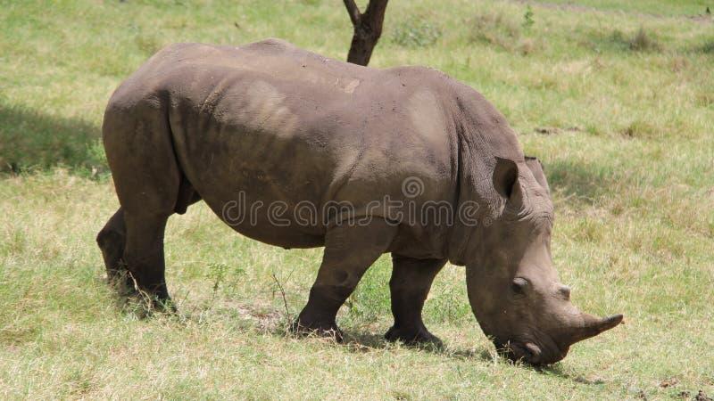 Ein großes Nashorn in einer afrikanischen Safari lizenzfreie stockfotografie