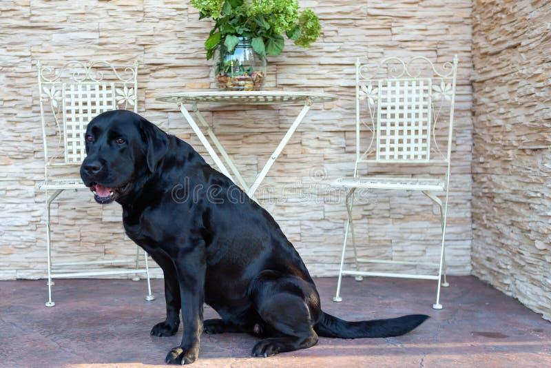 Ein großes, schwarz, Labrador sitzt nahe dem Gartenhaus stockfotografie