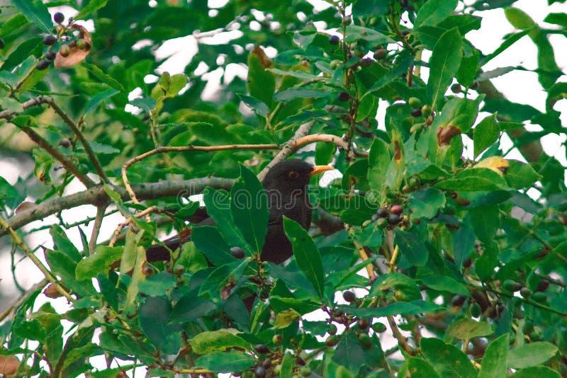 Ein hübscher kleiner schwarzer Vogel stockbilder