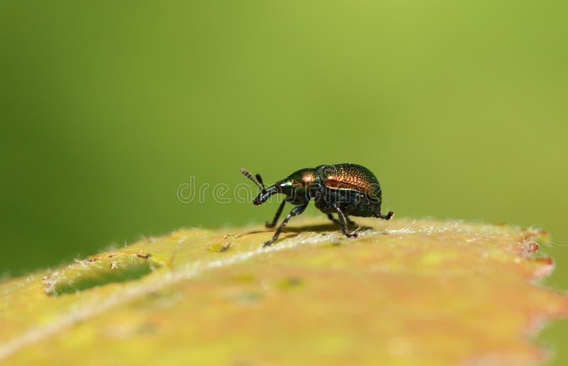 Ein hübsches Blattrollenrüsselkäfer Byctiscus-populi, das auf einem Blatt hockt stockfotos