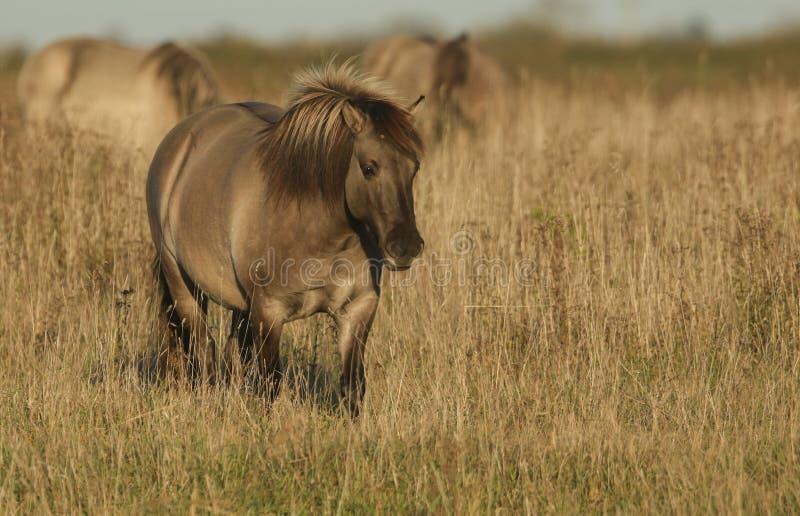 Ein hübsches Konik-Pferdequus ferus caballus, das an Burwell-Fenn, England weiden lässt stockbilder