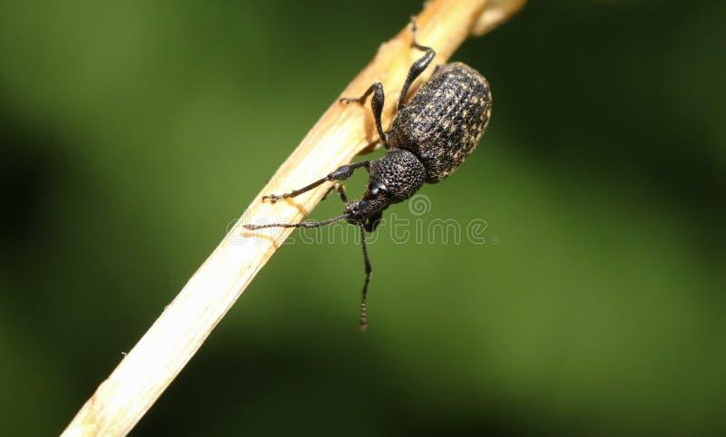 Ein hübsches Rebrüsselkäfer Otiorhynchus-sulcatus, das auf einem Betriebsstamm in Großbritannien hockt stockfoto