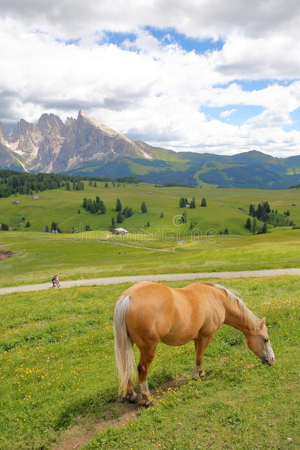 Ein Haflinger-Pferd in einer Wiese in Alpe de Siusi über Ortisei mit Sassopiatto-Berg im Hintergrund, Val Gardena stockfoto