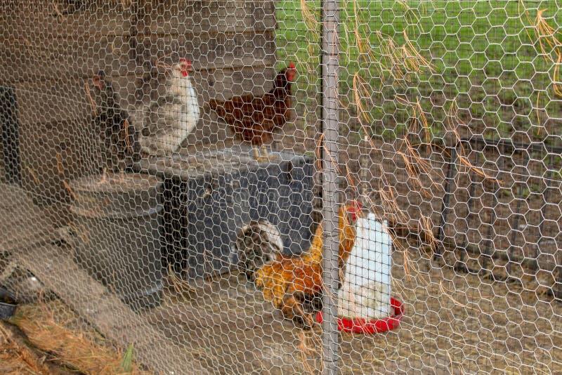 Ein Hahn und Hennen, die in einem Huhn-coop& x27 stehen; s-Metallzaun stockfotos
