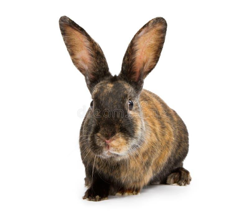 Ein Harlekin-Kaninchen getrennt auf Weiß stockbild