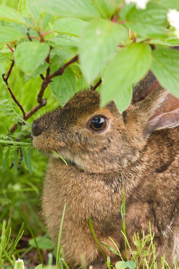 Ein Hase, der oben auf Abschluss des Grases speist lizenzfreie stockfotografie