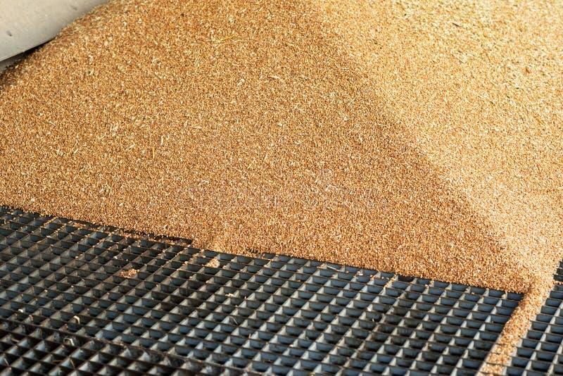 Ein Haufen gerade des geernteten Mais innerhalb eines Behälters Korn gegossenes f stockfotos