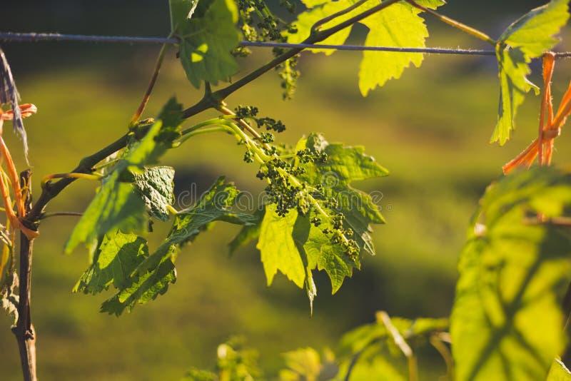 Ein Haufen junger, unreifer Trauben auf einem sonnigen Hintergrund lizenzfreies stockfoto