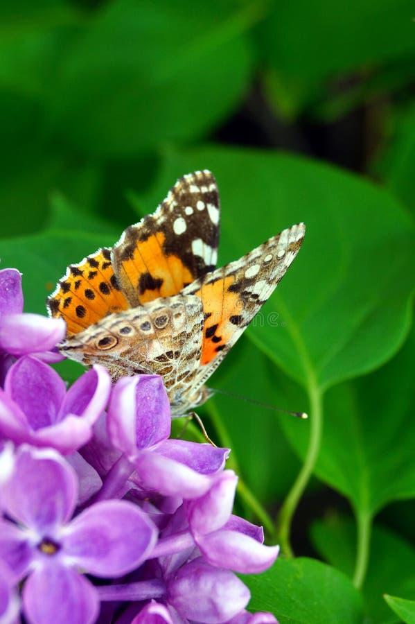 Ein heller orangefarbener Schmetterling sammelt Pollen auf einem Busch violetter Lila lizenzfreies stockbild