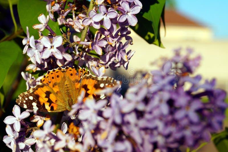 Ein heller orangefarbener Schmetterling sammelt Pollen auf einem Busch violetter Lila stockfotos