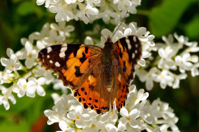 Ein heller orangefarbener Schmetterling sammelt Pollen auf einem Busch weißer Lila lizenzfreie stockfotos
