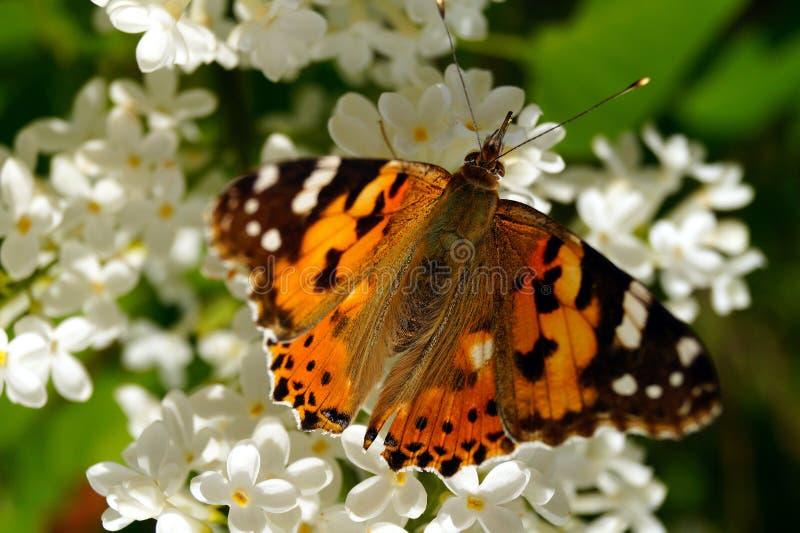 Ein heller orangefarbener Schmetterling sammelt Pollen auf einem Busch weißer Lila stockfotografie