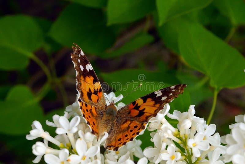 Ein heller orangefarbener Schmetterling sammelt Pollen auf einem Busch weißer Lila stockfotos