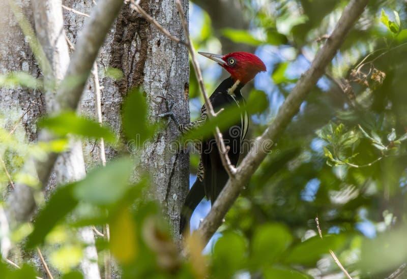 Ein heller roter Mann mit Haube Blass-berechnetes Specht Campephilus guatemalensis, das für Nahrung auf einem Baum in Mexiko heru stockfoto
