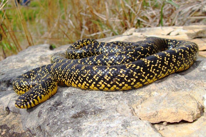 Ein helles gelbes gesprenkeltes Kingsnake (König Schlange) lizenzfreies stockbild