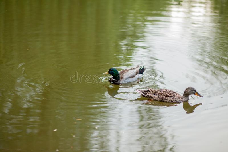 Ein Hennen- und Drake Mallard Duck-Schwimmen zusammen stockfotos