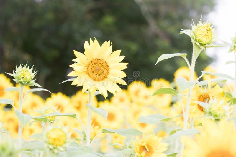 Ein Herausragendes unter den Sonnenblumen bei Anderson Sunflower Farm lizenzfreie stockfotografie