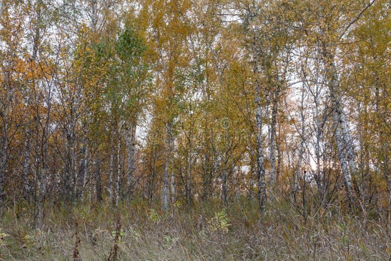 Ein Herbstwald von jungen Suppengrün lizenzfreies stockbild