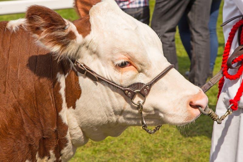 Ein Hereford-Stier an einer Grafschaftsshow lizenzfreie stockfotos