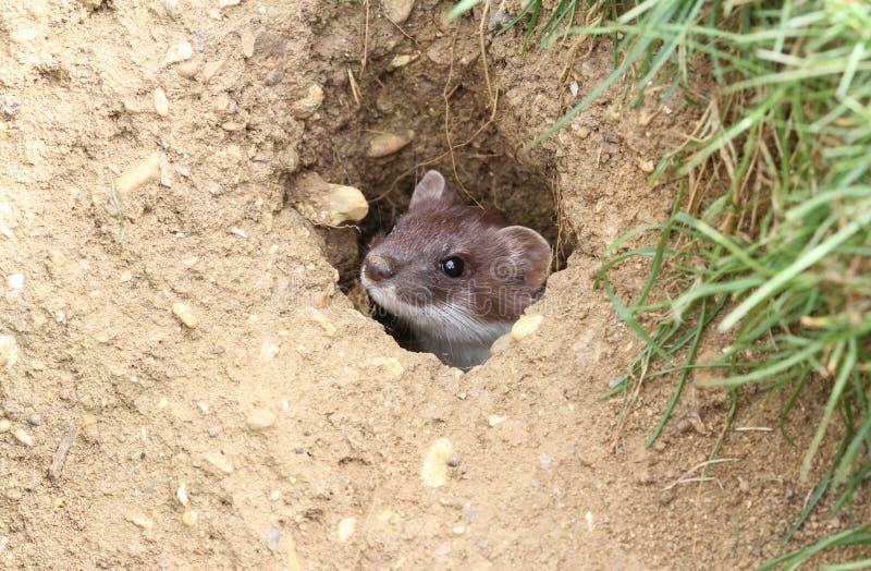 Ein Hermelin Mustela erminea, das aus einem Loch im Boden heraus emporragt lizenzfreies stockbild