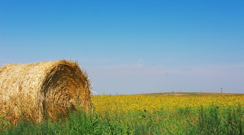 Ein Heuballen sitzt auf einem Gebiet von Sonnenblumen unter einem hellen blauen Himmel lizenzfreie stockbilder