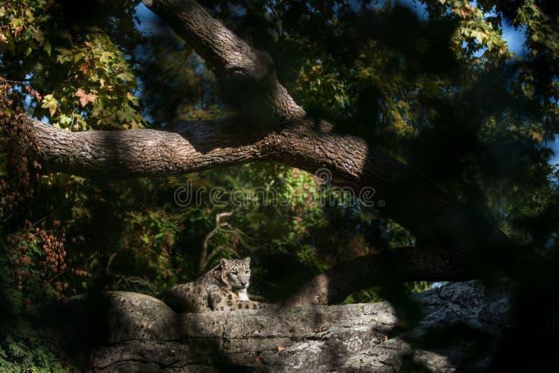 Ein Himalajaschneeleopard Panthera uncia Aufenthaltsräume auf einem Felsen, schöne irbis in der Gefangenschaft am Zoo stockfotos