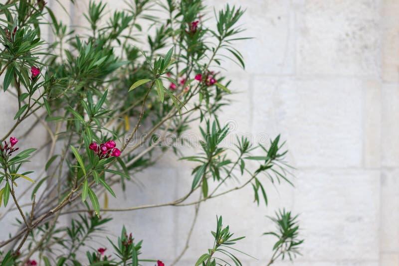 Ein Hintergrund mit copyspace, blühendem Baum oder Busch mit tiefrosa Blumen durch die hellgraue konkrete Backsteinmauer lizenzfreie stockbilder