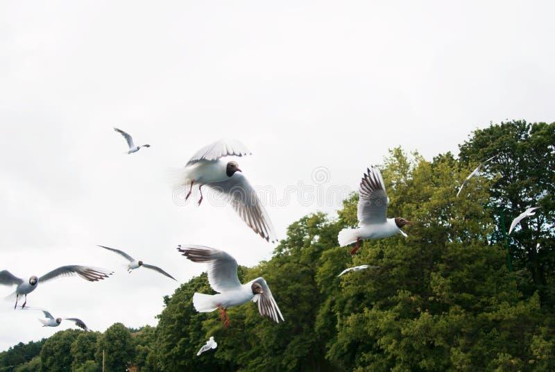 Ein Hintergrund mit einer großen Gruppenmenge von den Seemöwen, die über wi fliegen lizenzfreies stockbild